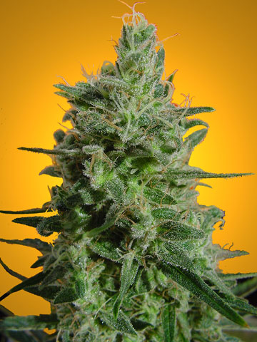 Delahaze Feminised Seeds