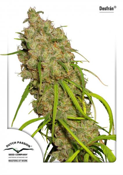 Desfran Feminised Seeds