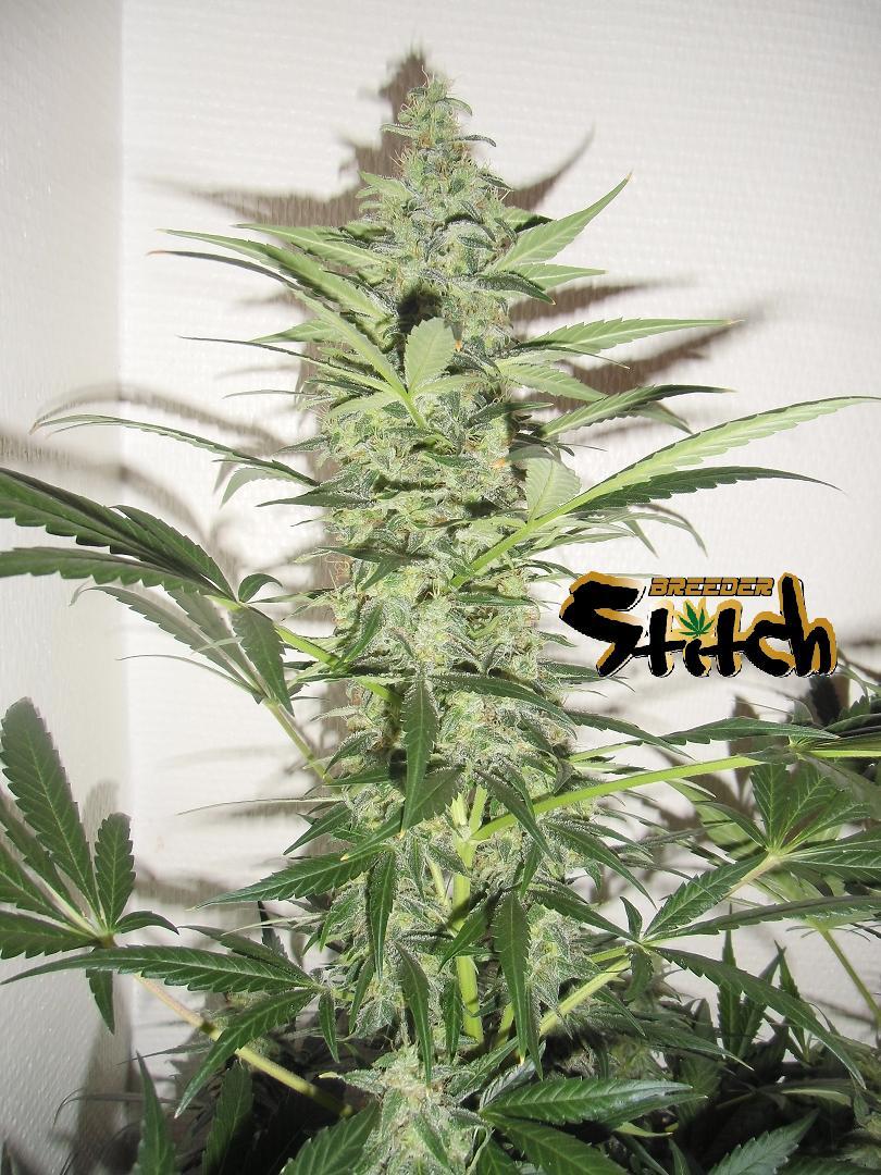 Diesel Haze Autoflowering Regular Seeds - 8