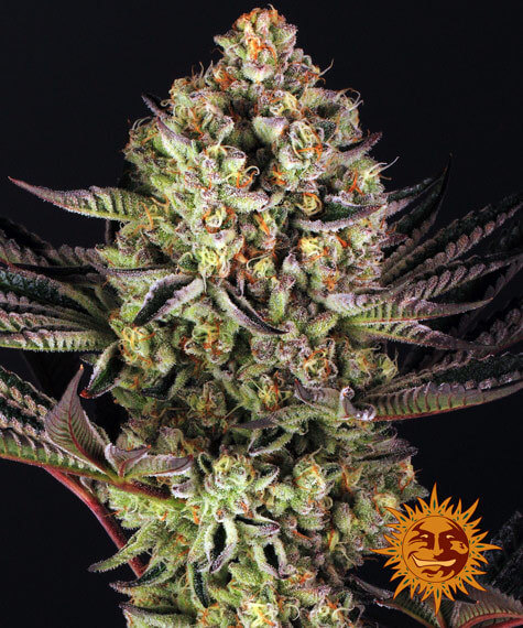 Dos Si Dos 33 Feminised Seeds