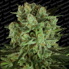 Durga Mata 2 CBD Feminised Seeds