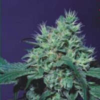 Dutch Dragon Feminised Seeds