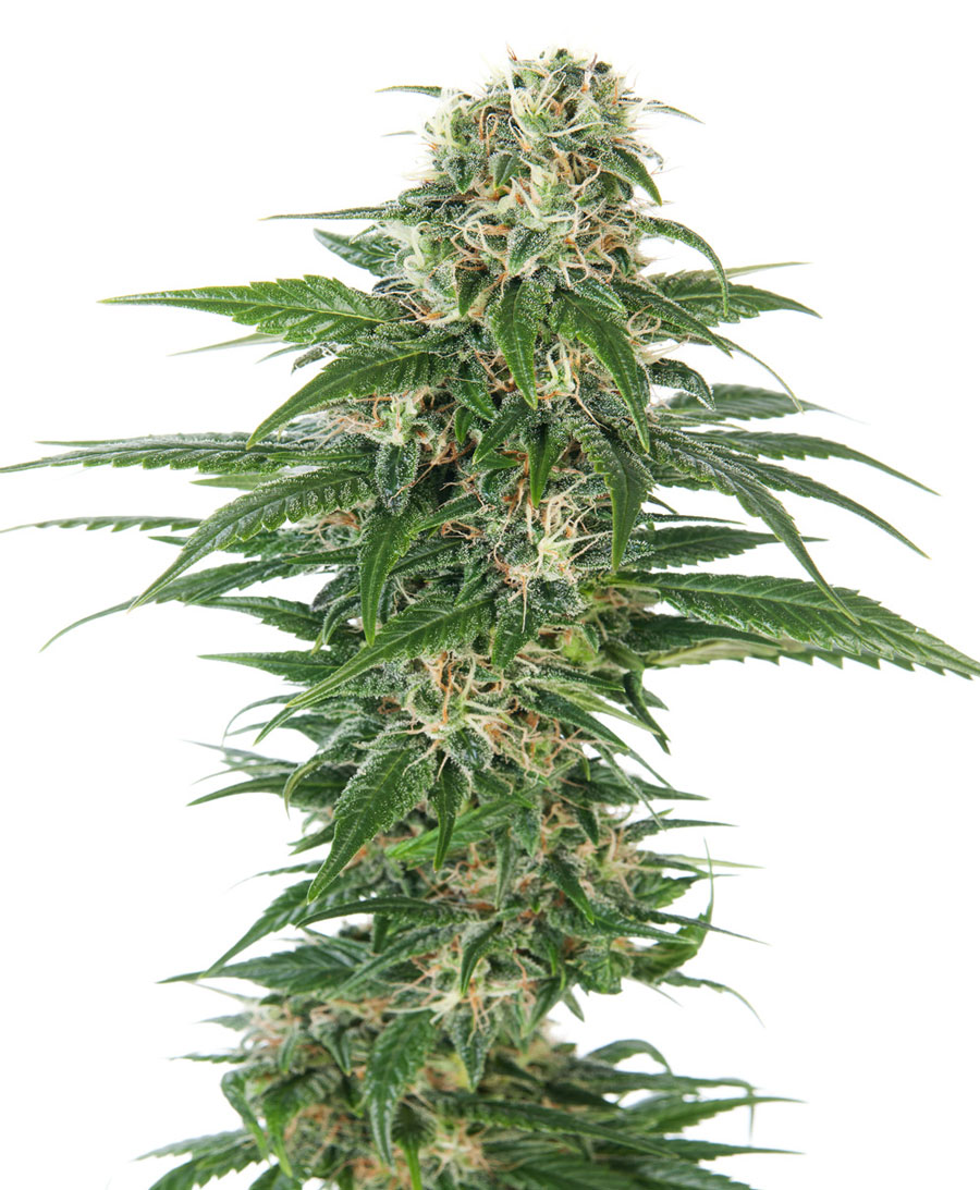 Early Skunk Auto Feminised Seeds