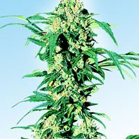 Early Girl Regular Seeds