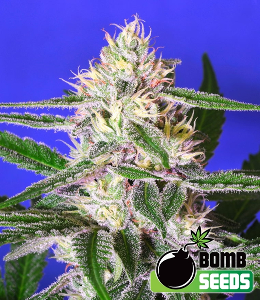 Edam Bomb Regular Seeds - 10