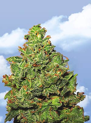 Edelweiss Feminised Seeds