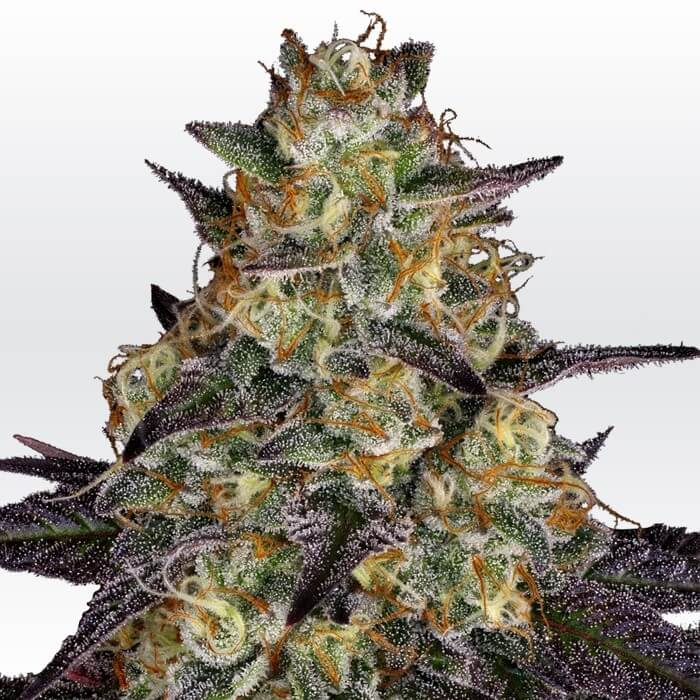 El Dorado OG Feminised Seeds