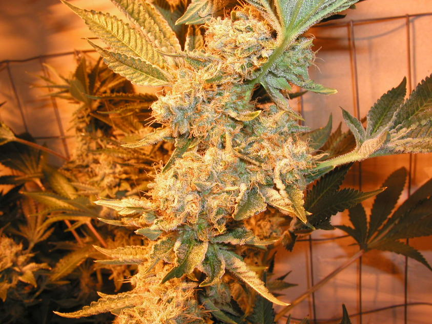Dr Greenthumb's Em-Dog Feminised Seeds
