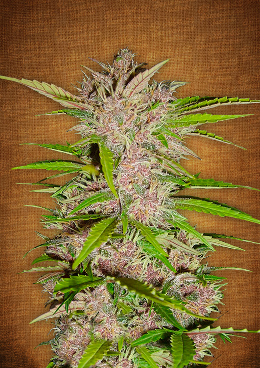 Fastberry Auto Feminised Seeds
