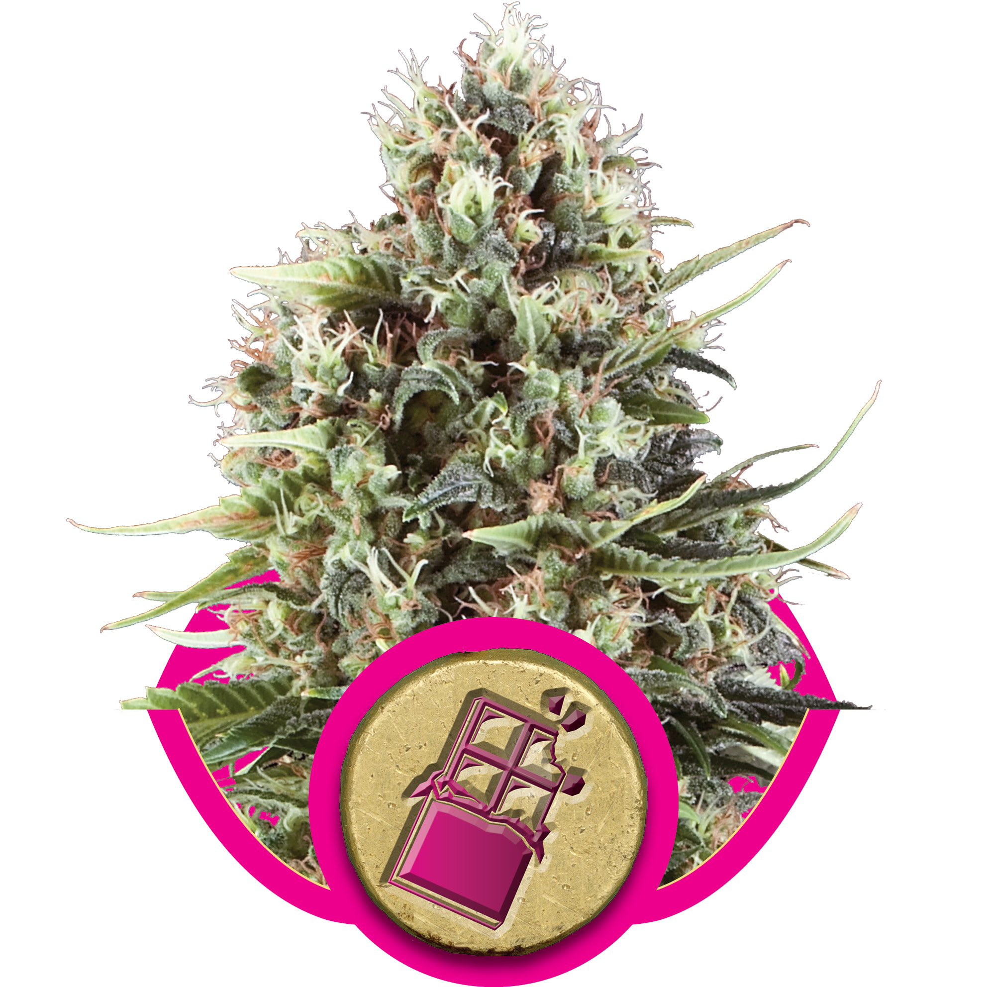 Chocolate Haze Feminised Seeds