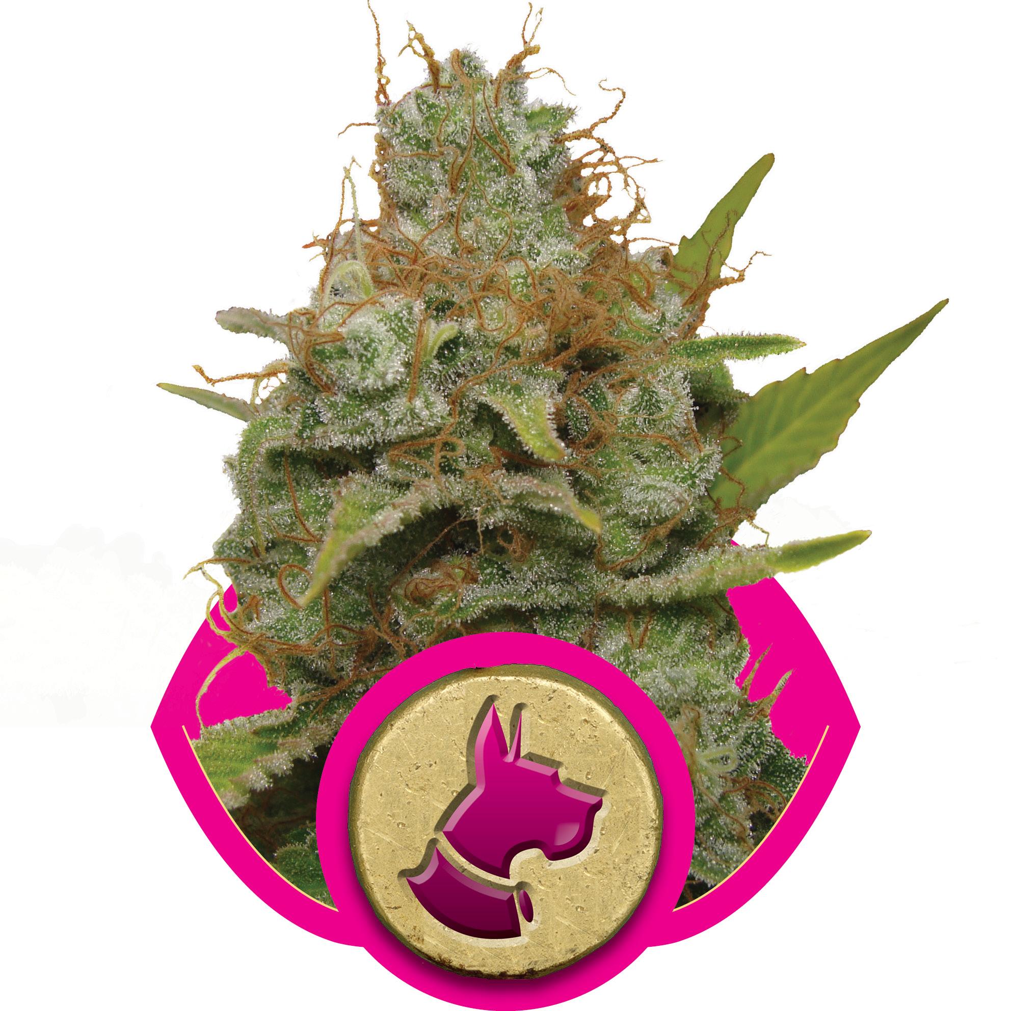 Kali Dog Feminised Seeds