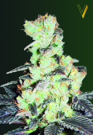 NHL Diesel Feminised Seeds