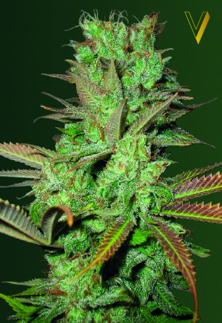 Seemango Feminised Seeds