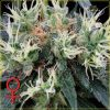 NL5 Haze Mist Feminised Seeds