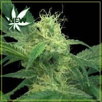 King's Kush Feminised Seeds