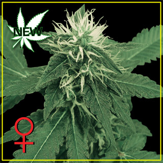 K - Train Feminised Seeds