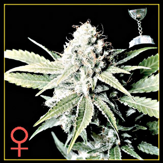Great White Shark Feminised Seeds