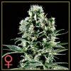 Himalayan Gold Feminised Seeds