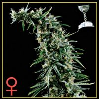Hawaiian Snow Feminised Seeds