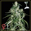 Arjan's Haze #1 Feminised Seeds