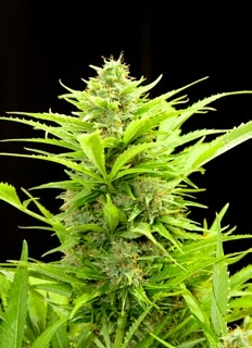 Maxi GOM Auto Feminised Seeds