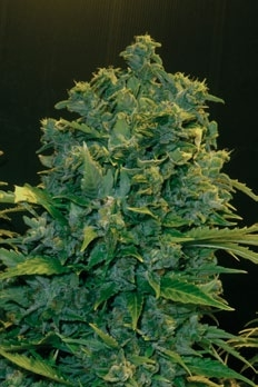 AK Auto Feminised Seeds