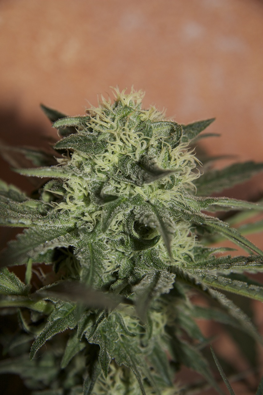 Lemon Auto Feminised Seeds