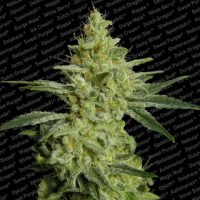 Allkush Feminised Seeds