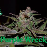 Purple Wreck Feminised Seeds