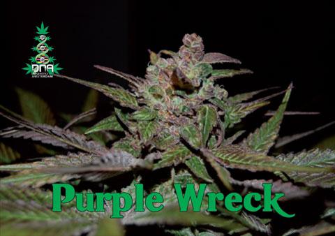 Purple Wreck Feminised Seeds