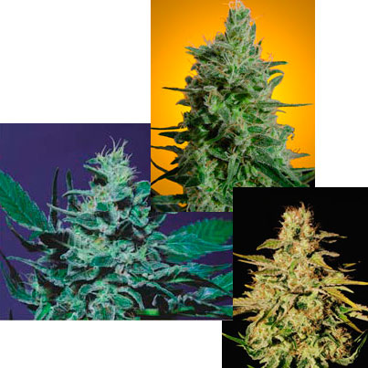 Sativa Champion Pack - 6 Feminised Seeds