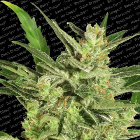 Maria II Auto Feminised Seeds