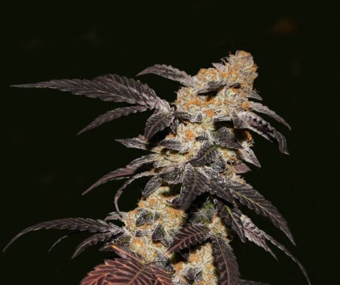 French Cookies Feminised Seeds
