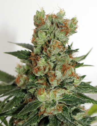 Fuel OG Feminised Seeds