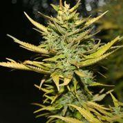 G13 Hashplant Feminised Seeds