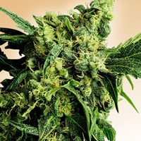 Mr Nice G13 x Hash Plant Regular Seeds - 10