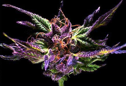 Grand Daddy Purple - 10 Regular Seeds
