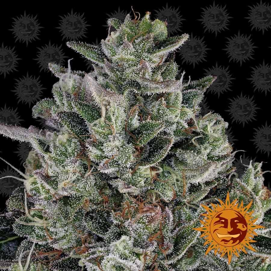Glookies Feminised Seeds