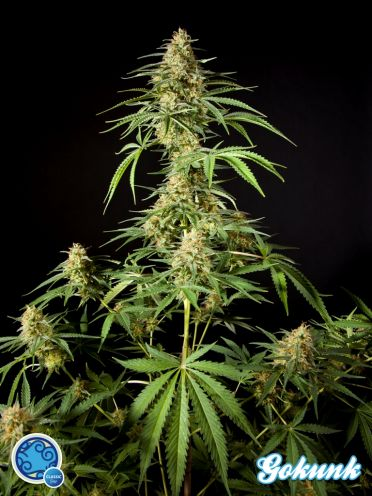 Philo Skunk Feminised Seeds