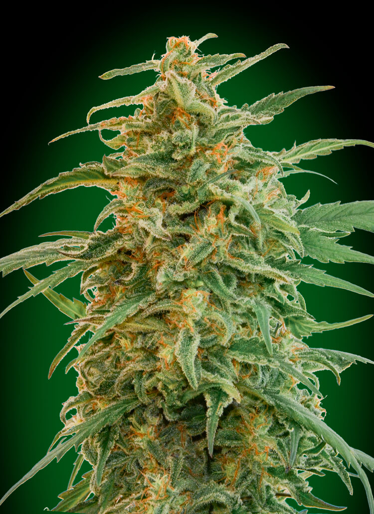 Gorilla Auto Feminised Seeds