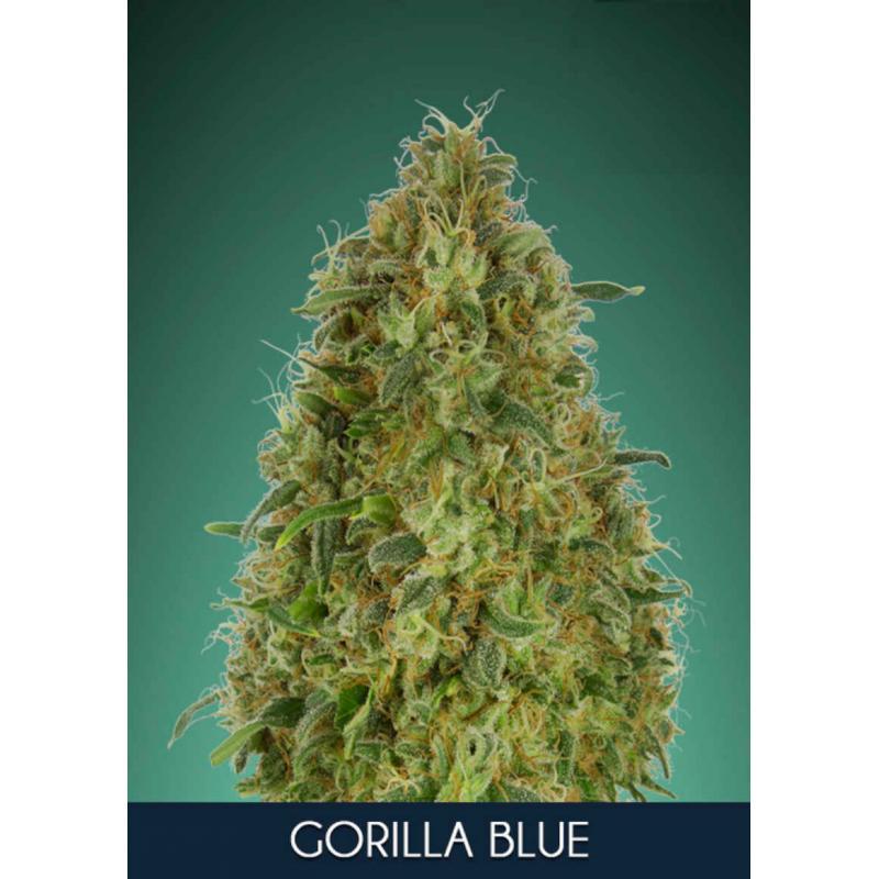 Gorilla Blue Feminised Seeds
