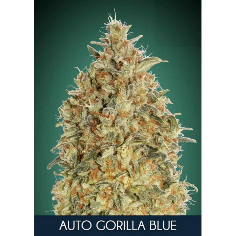 Gorilla Blue Auto Feminised Seeds
