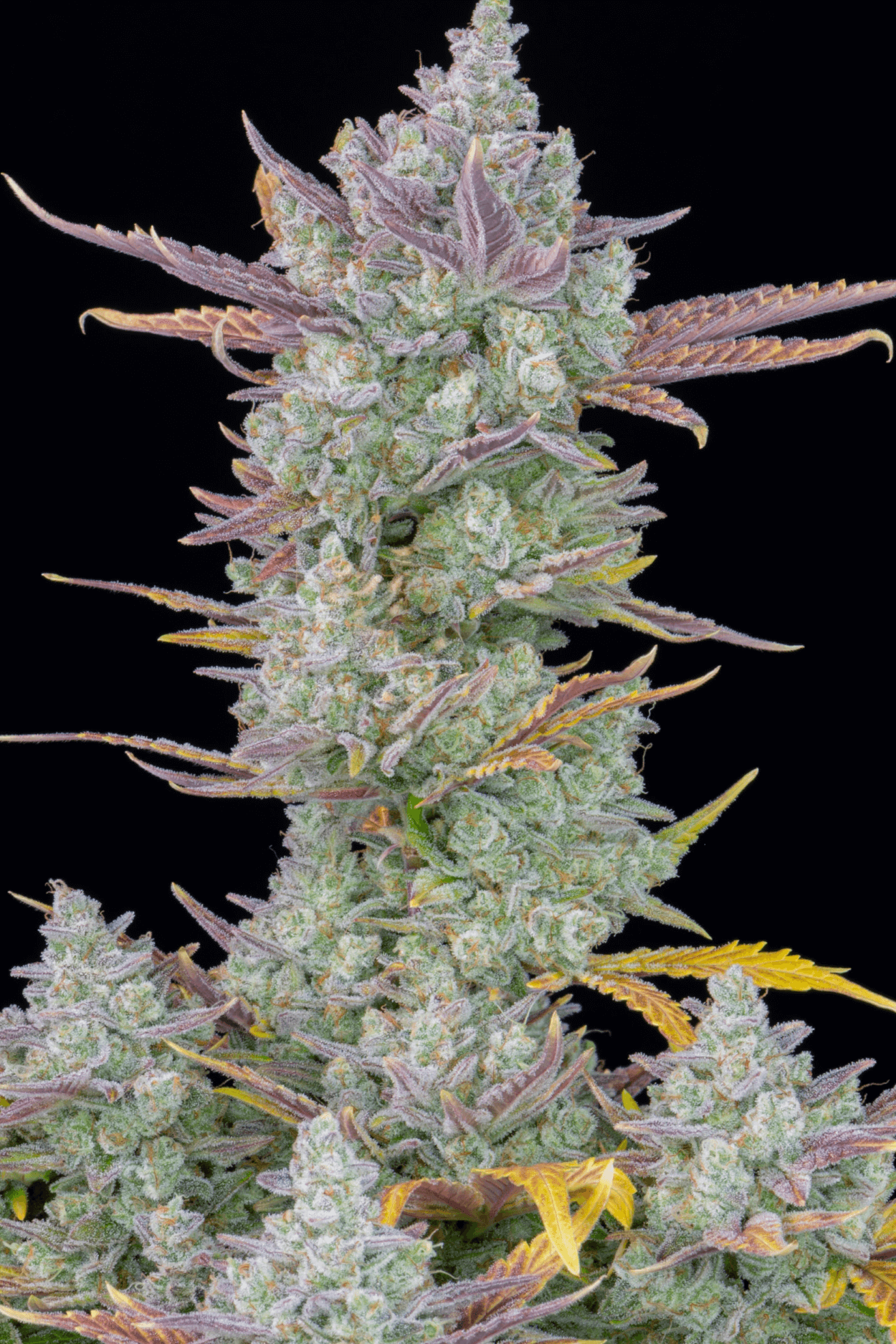 Gorilla Cookies Auto Feminised Seeds