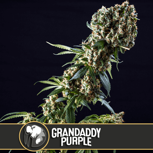 Grandaddy Purple Feminised Seeds