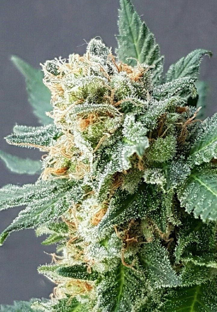 Grapefruit Auto Feminised Seeds