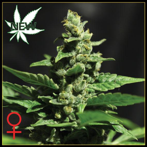 Green-O-Matic Auto Feminised Seeds
