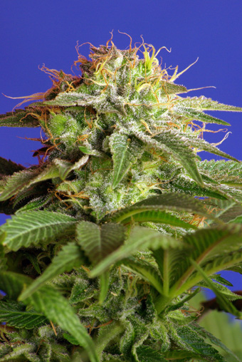 Green Poison Feminised Seeds