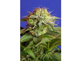 Green Poison FAST Version Feminised Seeds