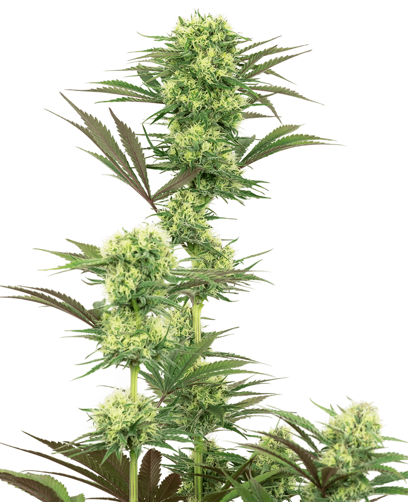 Guava Jelly Feminised Seeds