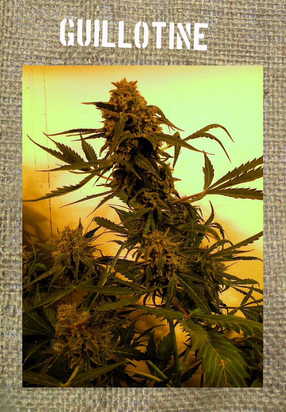 Guillotine Auto Feminised Seeds